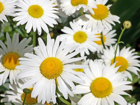 Daisies, White, Flowers, Petals, Daisy, Yellow, Centre