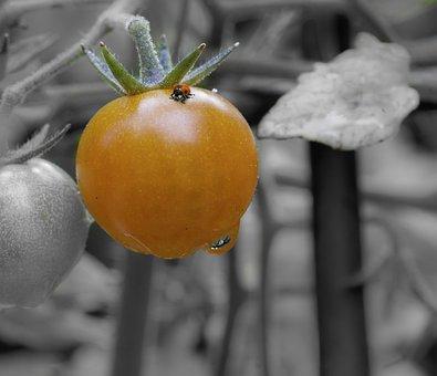 Tomato, Ladybug, Black And White, Color, Orange