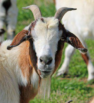 Goat, Face, Animal, Young, Outdoor, Mammal, Farm, Field