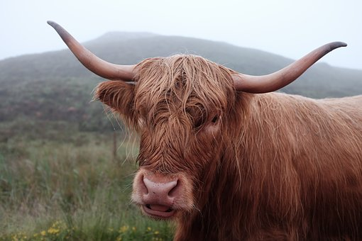 Agriculture, Animal, Bull, Cattle, Close-up