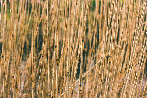 Agriculture, Cane, Countryside, Dry, Field, Flora