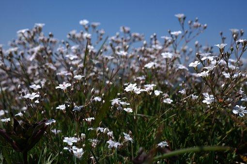 Gypsophila Repens, Plant, Flower, Blossom, Bloom, White