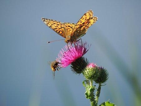 Butterfly, Fritillary, Large Fritillary