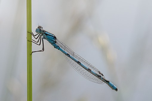 Dragonfly, Macro, Enallagma, Cyathigerum, Cup Bluet