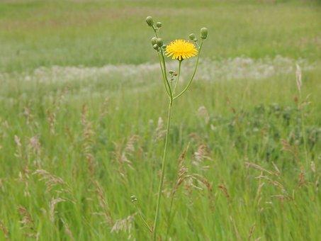 Dandelion, Weed, Flower, Prairie, Grass, Green, Plant