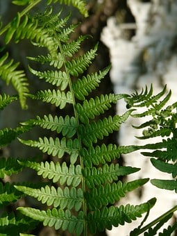 Fern, Bracken, Leaf Detail, Birch, Bark, Strain
