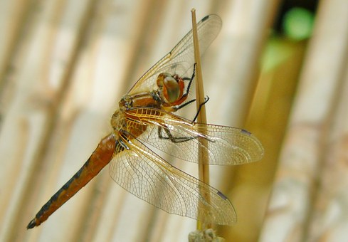 Dragonfly, Insect, Animal, Close, Wing, Shiny