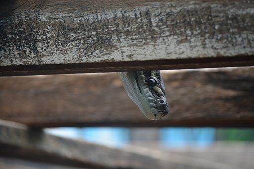 Snake, Peek, Reptile, Animal, Eye, Scales, Nature