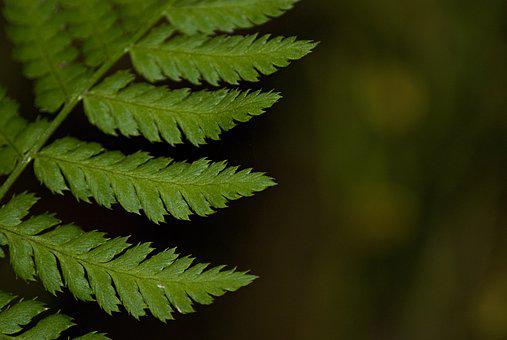 Macro, Fern, Green, Bracken, Plant, Leaf Detail, Nature