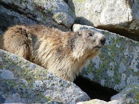 Marmot, Rodent, Herbivore, Spring, Rocks, Alps, Watcher