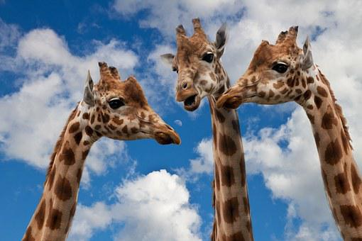 Giraffes, Entertainment, Discussion, Height, Talk