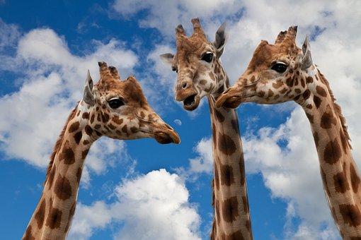 Giraffes, Entertainment, Discussion, Height, Talk
