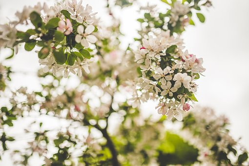 Beautiful, Bloom, Blooming, Blossom, Blur, Branch