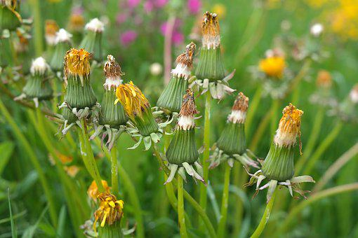 Dandelion, Bloom, Inflorescence, Yellow, Faded