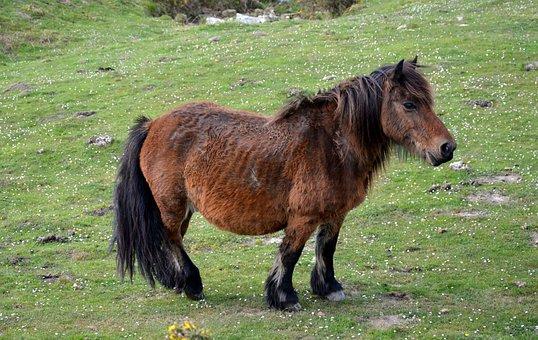 Pottok, Horse Of The Pyrenees, Little Basque Horse