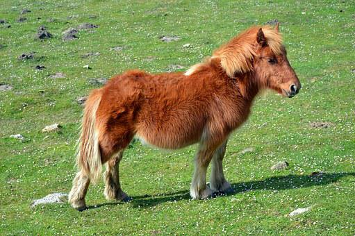 Pottok, Horse Of The Pyrenees, Little Basque Horse
