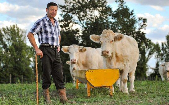 Agriculture, Cane, Cattle, Cows, Farm, Farmer, Farmland