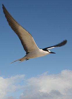 Schwalbe, Tern, Sooty Tern, Onychoprion Fuscatus