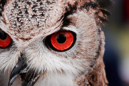 Animal, Avian, Beak, Bird, Feathers, Head, Owl
