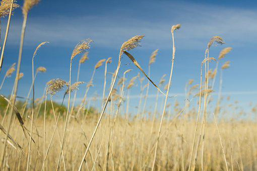 Cane, Nature, Landscape, Sky, Dry, Grass, Fields