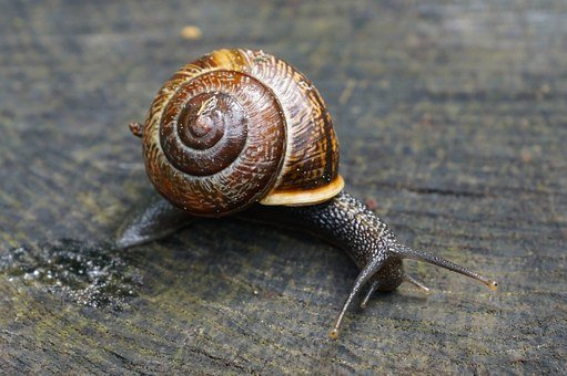 Nature, Snail, Snail Shell, Probe, Slime Trail, Brown