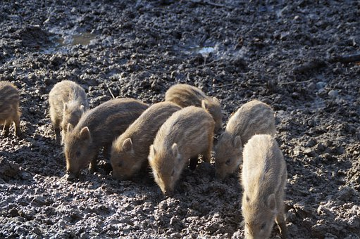 Little Pig, Litter, Wild Boars, Piglet, Young Animals