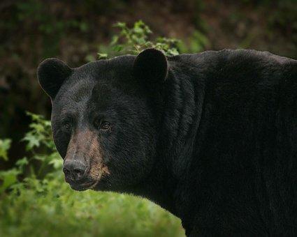 Americanus, Ursus, Bear, Black, Big, Bears, Animals