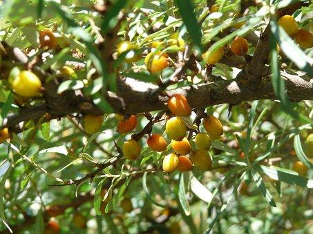 Berries, Fruits, Spur, Thorns, Sea Buckthorn, Bush