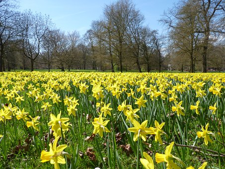 Daffodils, Daffodil Field, Osterglocken, Yellow, Spring