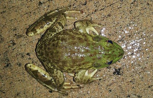 Bullfrog, American Bullfrog, Frog, Amphibian