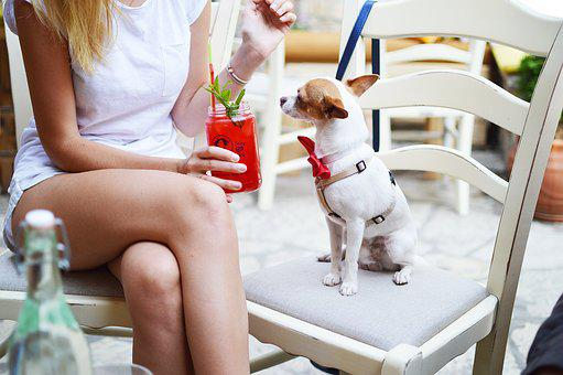 Animal, Chairs, Chihuahua, Cute, Dog, Furniture, Girl