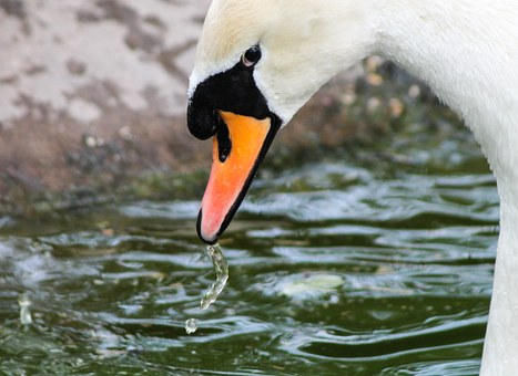 Swan, The Swan, White Swan, Portrait, Waterfront