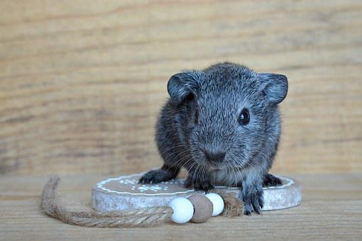 Guinea Pig, Young Animal, Baby Guinea Pigs, Small