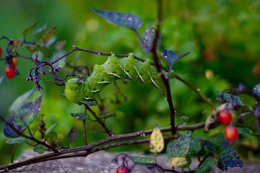 Caterpillar, Bug, Berries, Larva, Insect, Ecology