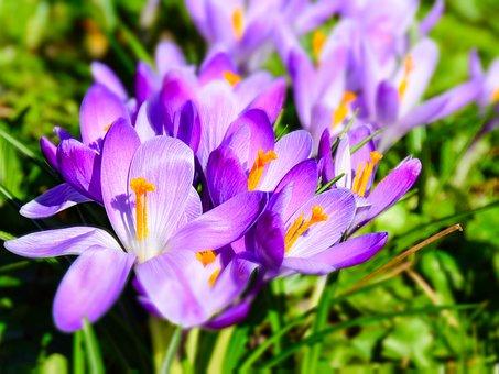 Flowers, Crocus, Spring, Purple, Garden, Bloom, Park