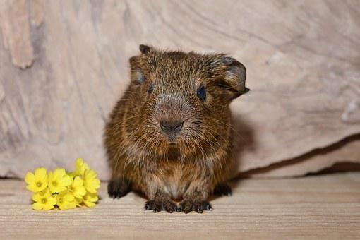 Guinea Pig, Baby Guinea Pigs, Young Animal, Cute