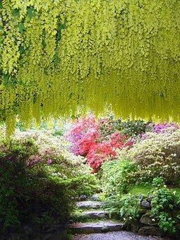 Bodnant, Gardens, Laburnam, Poisonous, Arch, National
