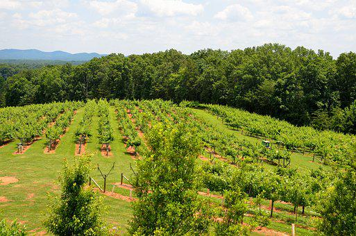 Vineyard, Winery, Landscape, Outdoors, North Georgia
