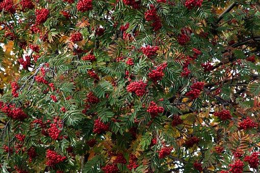 Autumn, Rowan, Mountain Ash, Leaves, Fall, Nature, Leaf