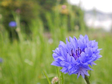 Flowers, Blue, Nemophila, Cute, Forget-me-not, Garden