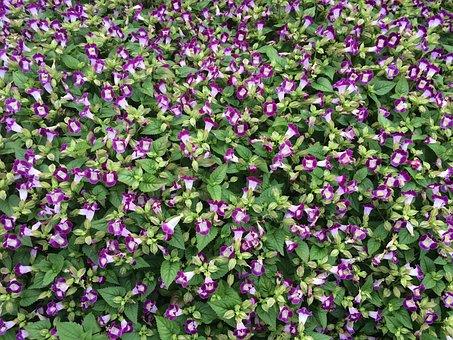 Flowers, Blue-violet, Floret, Blue, Otsu Park, Yokosuka