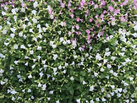 Flowers, White, Floret, Pink, Otsu Park, Yokosuka