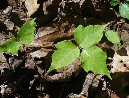 Poison Ivy, Plant, Leaves, Poison, Allergic, Irritant