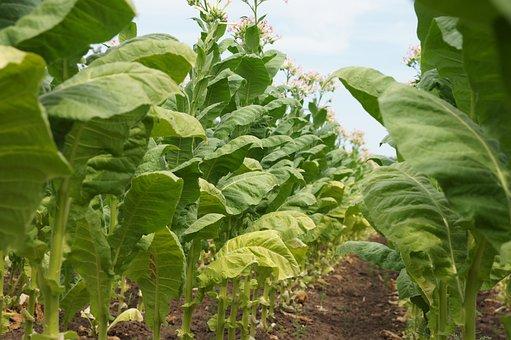 Tobacco, Plant, Smoking, Tobacco Plant, Flowers