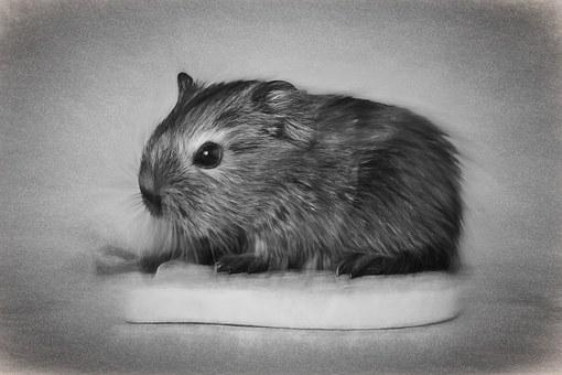 Drawing, Guinea Pig, Young Animal, Baby Guinea Pigs