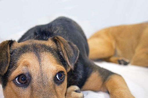 Close-up View, Dog, German Shepherd, Rescue Dog