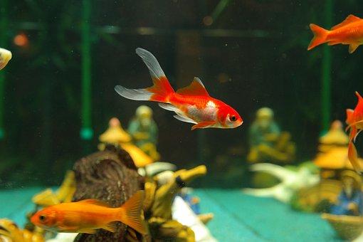 Fish, Goldfish, Freshwater Fish, Karpfenfisch