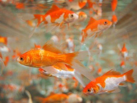 Goldfish, Aquarium, Underwater, Tropical, Pet, Swim