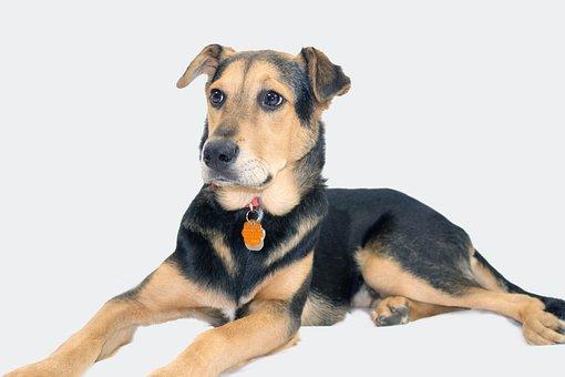 German Shepherd, Mix, Rescue Dog, Shepard