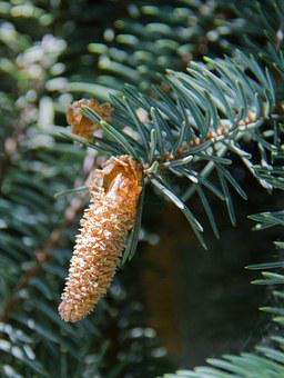 Spruce, Tree, Conifer, Pine Cone, Needles, Branch